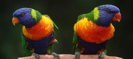 rainbow-lorikeet-686100_640